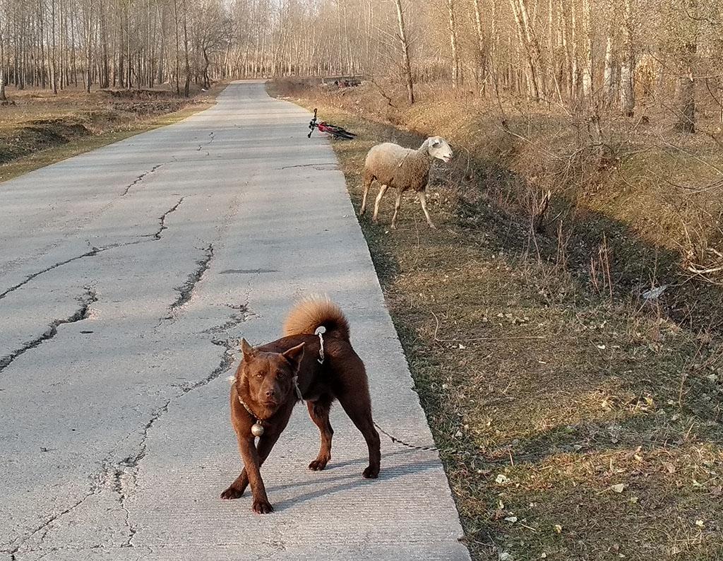 一只牧羊犬.jpg