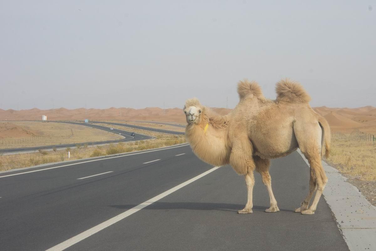 路上的骆驼,很温顺
